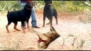 Rottweilers Attack and Kill a Dog in Front of Poor Owner