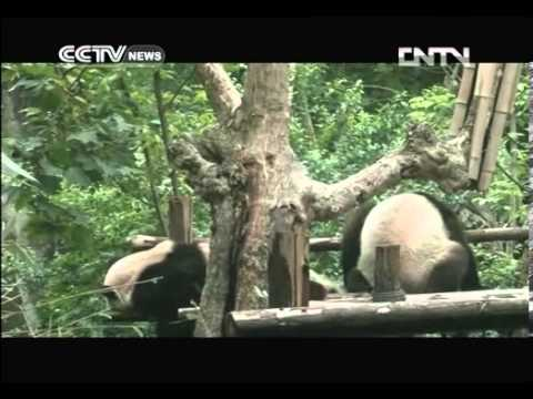 Video  China Network Television launches live panda feed