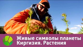Живые символы планеты. Киргизия. Растения | Живая Планета