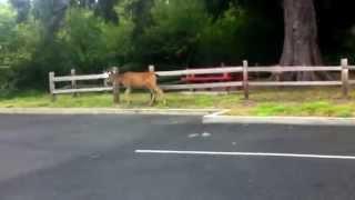 Black Tailed 3 Point Buck Deer, Ocean Park, Long Beach, Washington
