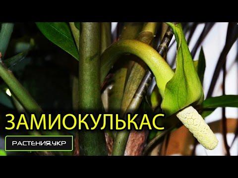 Как цветёт Замиокулькас (долларовое дерево)? / Замиокулькас уход в домашних условиях