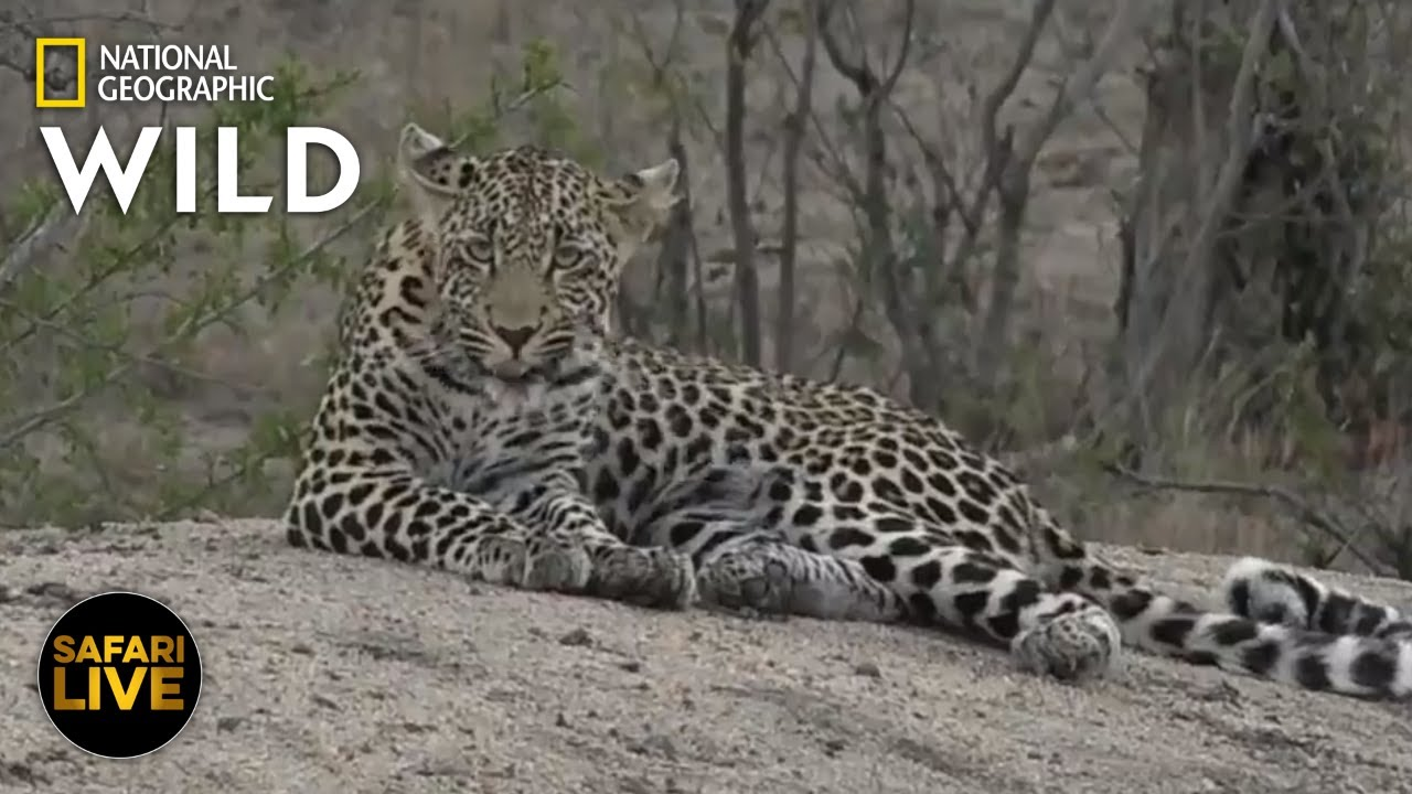 Safari Live - Day 266 | Nat Geo Wild