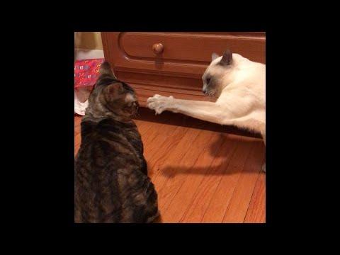 Cat fight! (Devon Rex vs Tonkinese)