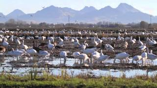 Geese at home in Sac Valley rice field