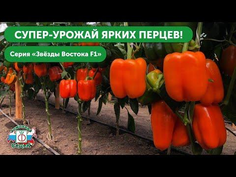 ЛУЧШИЕ СОРТА ПЕРЦА НА 2020 ГОД – Сладкие перцы с высокой урожайностью // Серия «Звезда Востока» | выращиваем | перца_2020 | перец_2020 | востока | семена | лучшие | звезда | сорта | перцы | перца