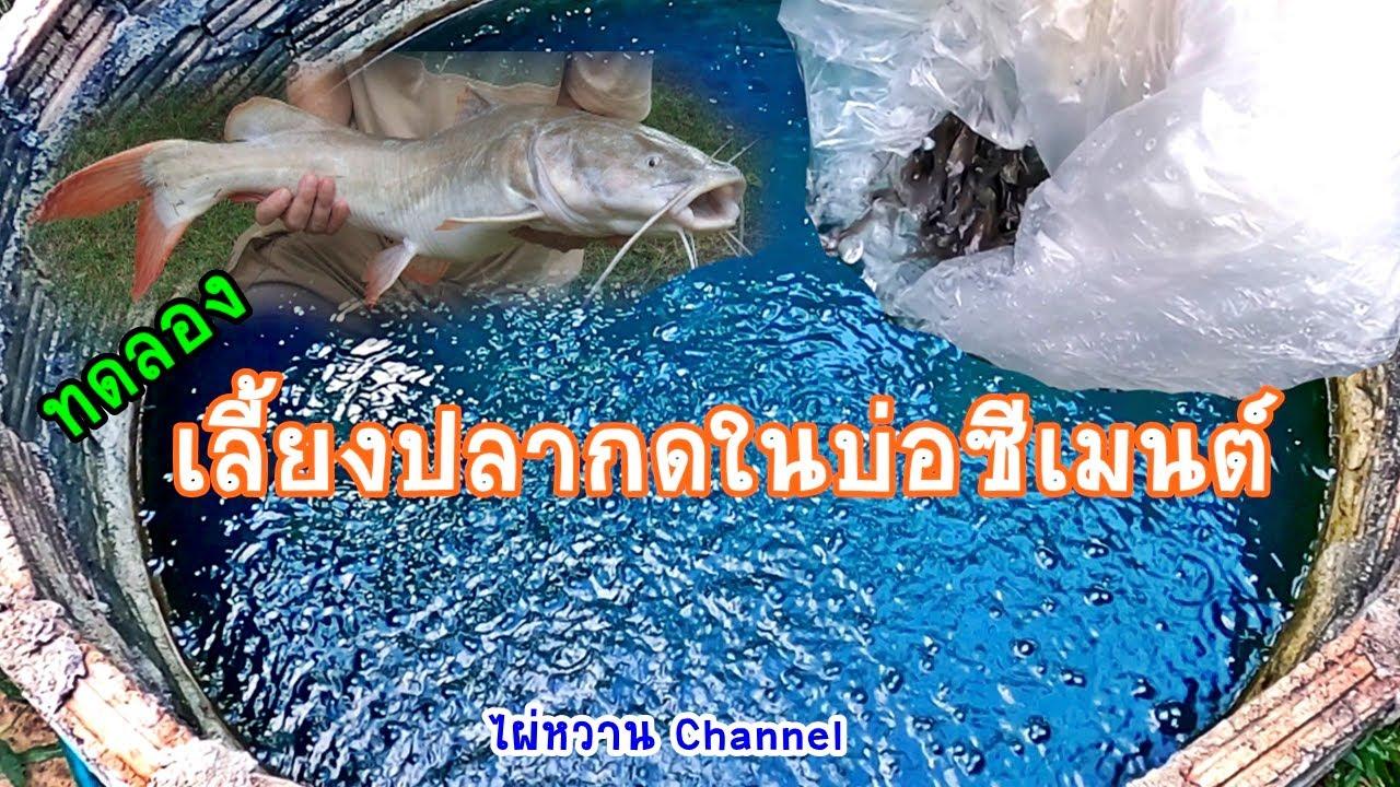 เลี้ยงปลากดในบ่อซีเมนต์ โตไม่โต โปรดติดตามครับ