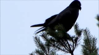 Annelies van Klinken   Raaf Corvus corax
