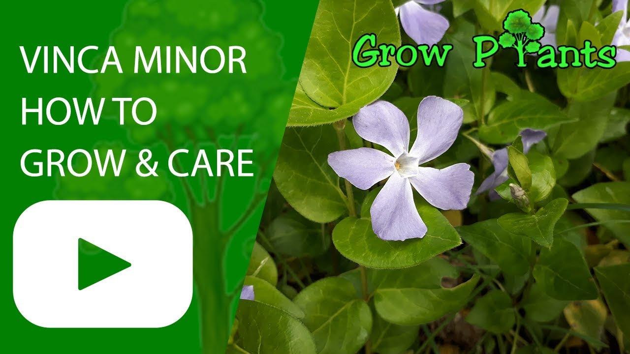 Vinca Minor Care Grow Ground Cover Plant