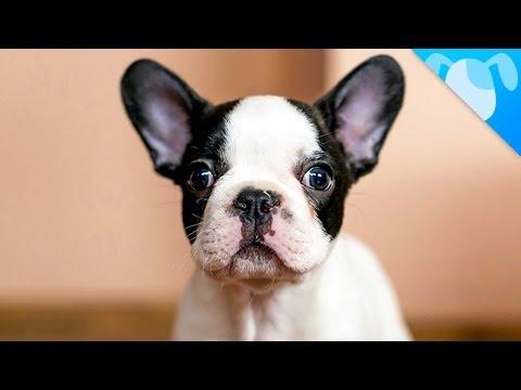 French Bulldog Facts