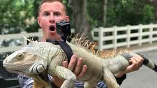 I Strapped a GoPro On a Iguana