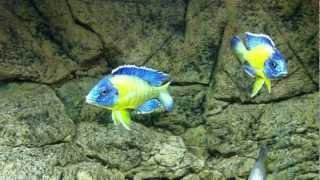 "Aulonocara stuartgranti ""blue neon"" Undu reef males fight - PISCES"