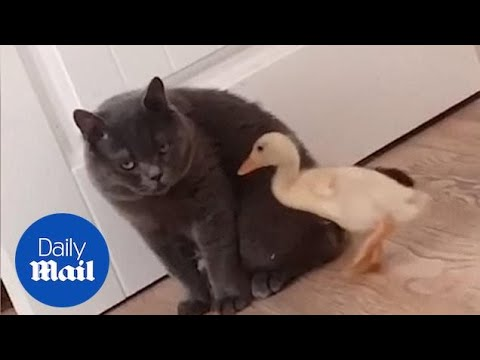 British Shorthair Cat Repeatedly Embraces Little Duckling In China