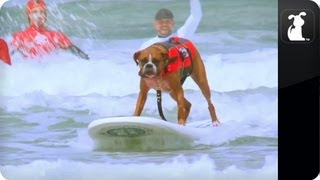 My Incredible Dog - Hanzo The Amazing Surfing Dog.