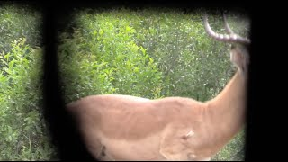 Bowhunting Africa   Big Impala Heart Shot W: African Bowhunting Adventures