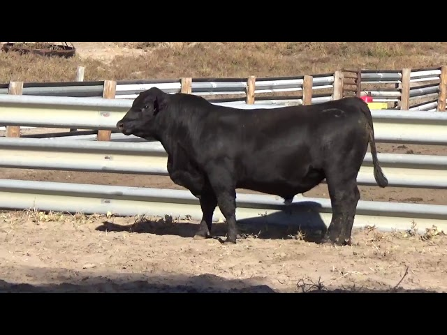 Connealy Angus Lot 1