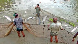 Fishermen Are Catching a Lot of Fishes By Net Fishing | Big Grass Carp  Fish Hunting In a Pond