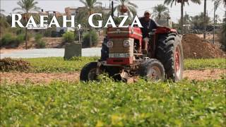 Gaza Farms Burst With Sweet Potatoes