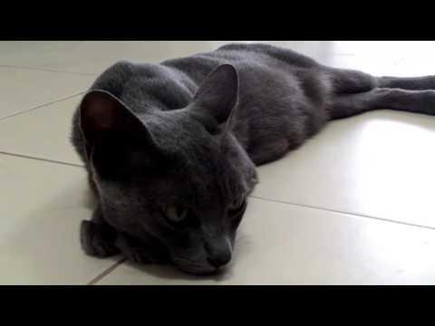 แมวสีสวาด Korat cat