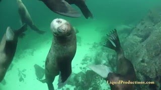 Scuba Diving with Steller Sea Lions British Columbia 4K