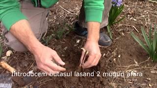 Plantare iasomie prin metoda Burrito. Jasmine planting by the Burrito method