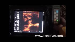 Ultrasound Scanner RKU-10 Able to Diagnose a Cow That Is 52 Days Pregnant