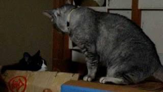 編集前の『無言の猫の喧嘩です』 「シャ~」も「ゥウ・・・」もありませ...
