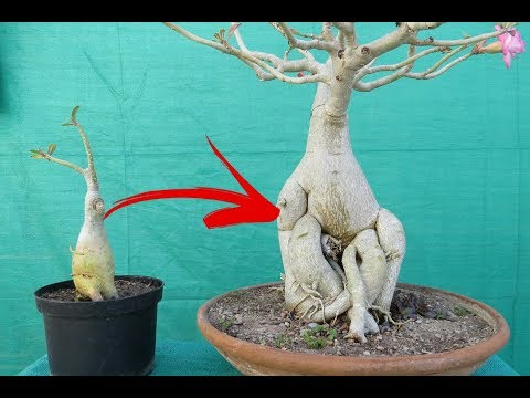 Adeniums Big Caudex in One Month / With Guarantee/ without fertilizers
