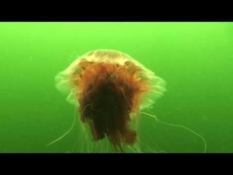 Cyanea capillata. White Sea, Jul 2011