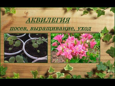 Все об аквилегии - посев семян, выращивание, уход