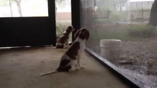 King Charles Cavalier Puppies Watching The Rain