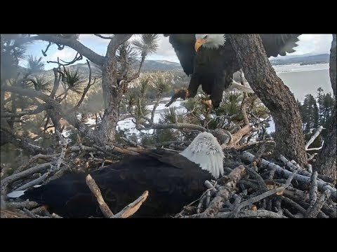 Big Bear Eagles ~ Shadow Brings In *TWO* Celebratory Fish For Jackie! 1.9.20