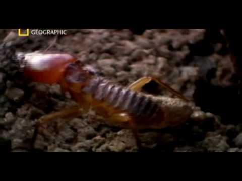 Matabele ants vs termite soldiers