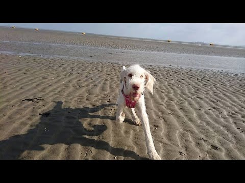 Amber - Italian Spinone Puppy - 4 Week Residential Dog Training at Adolescent Dogs