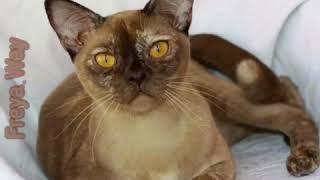 Бурманские Кошки шоколадного черепахового окраса. Презентация. Питомник Freya Way