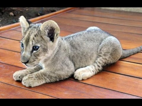 Lion Cub Rescued from Balcony in Beirut