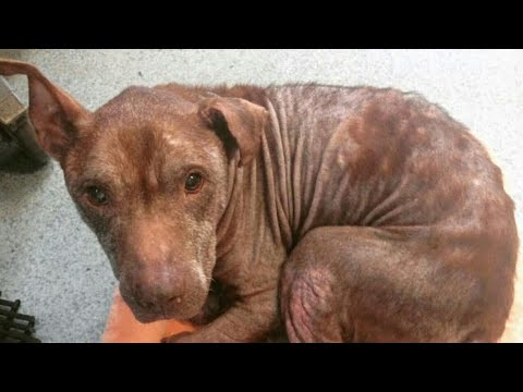 Severely neglected pitbull gets a second chance at life
