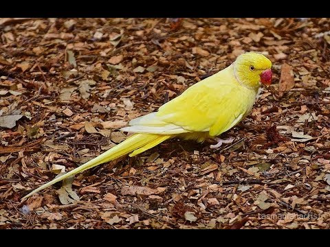 Cute Parrots Part #21 - Happy Birthday ERWIN The Indian Parrot Eating Anything - Pet Cute Animals