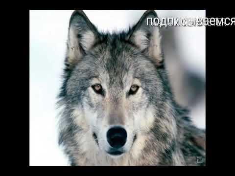 Прекрасные фото волков