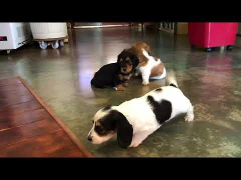 Dachshund Puppies From Dachshund Australia