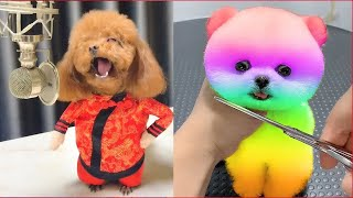 Tik Tok Chó Phốc Sóc Mini 😍 Funny and Cute Pomeranian #70