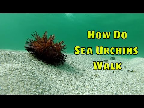 How Do Sea Urchins Walk