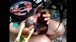 Repeat youtube video Inseminasi buatan pada ayam