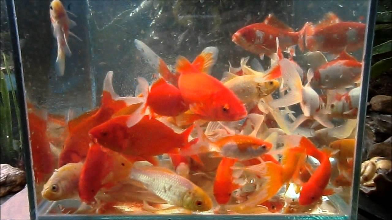 carassius auratus mis 25 peces youtube