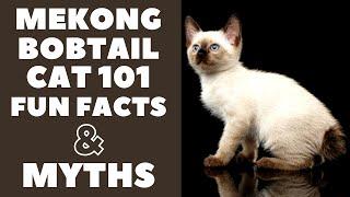 Mekong Bobtail Cats 101 : Fun Facts & Myths