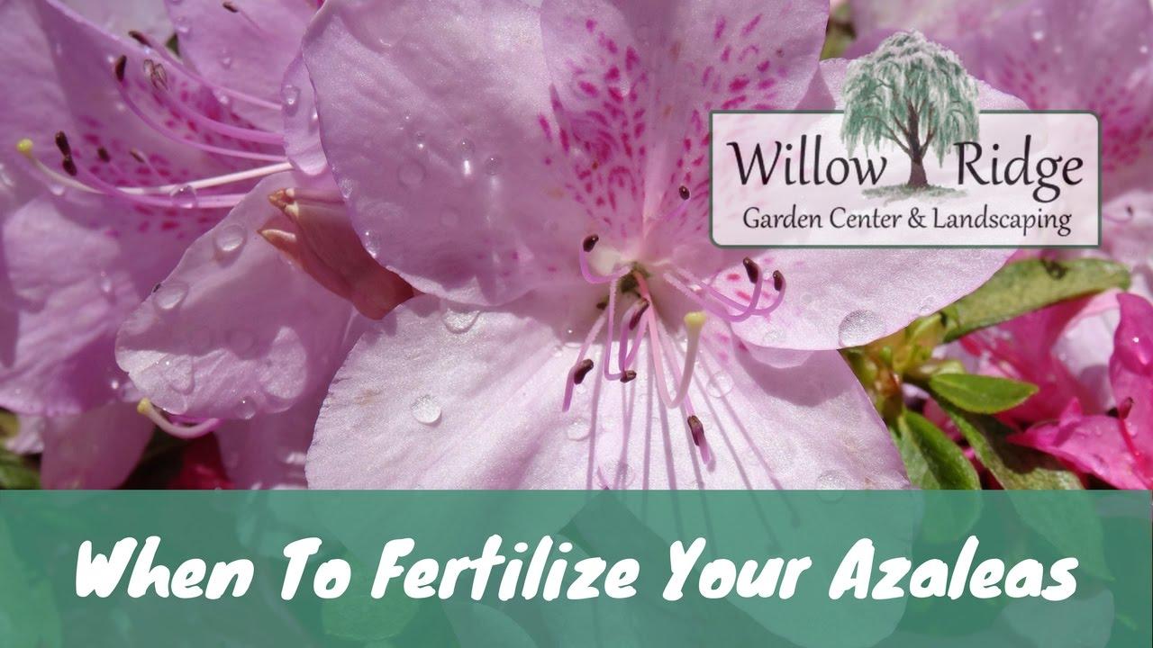 When To Fertilize Azaleas Youtube