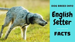 English Setter dog breed. All breed characteristics and facts about English Setter dogs