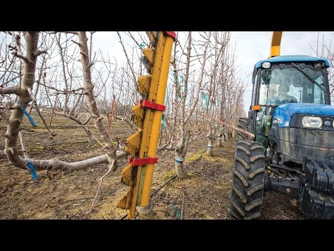 Mechanically hedging a cherry orchard with WSU