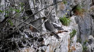 Sokol stěhovavý (Falco peregrinus), Moravský kras, Býčí skála 2018 /nikon coolpix p900/