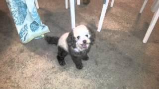 Panda Colored, Dye Dog, Poodle