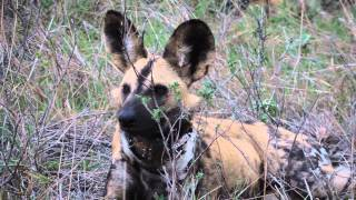 Wildlife Act: African Wild Dog Wearing Anti-snare Tracking Collar